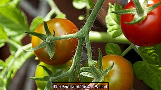 Epsom salt: fertilizer for tomatoes and indoor plants