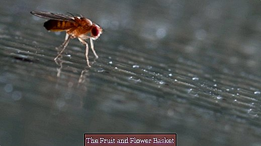 Catch fruit flies with white wine-balsamic mixture