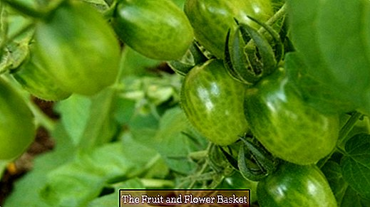 Tomato rot / brown rot