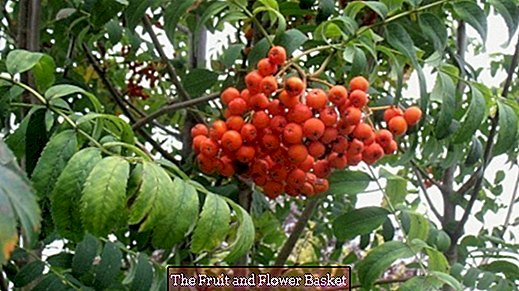 Rowan berries - not only for birds!