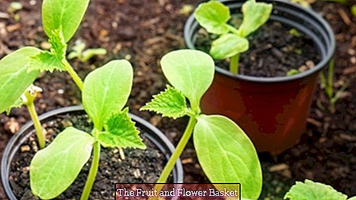 Biologically loosen soil for pots and beds