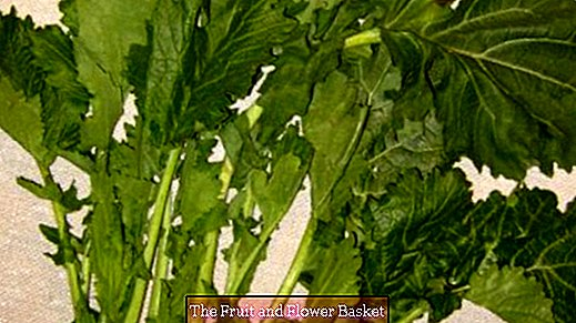Italian vegetables - Cima di rapa / stalk cabbage