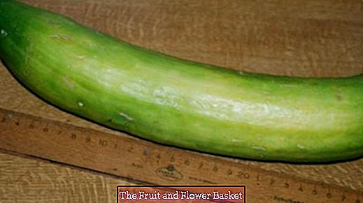 Late summer - Canning: Mustard cucumbers with fennel