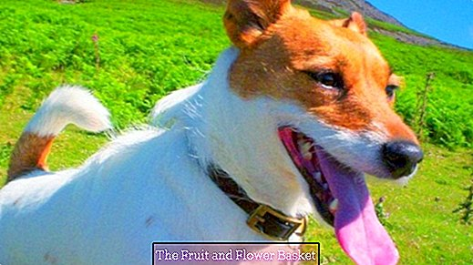 Bad breath in the dog