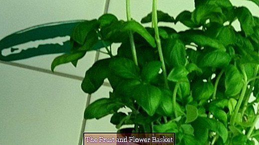 Ultimate tip for gorgeous-looking basil