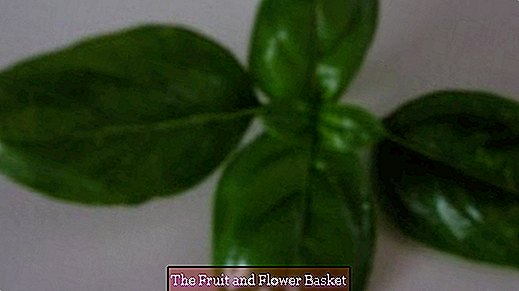 Basil grows lusciously by harvesting it properly
