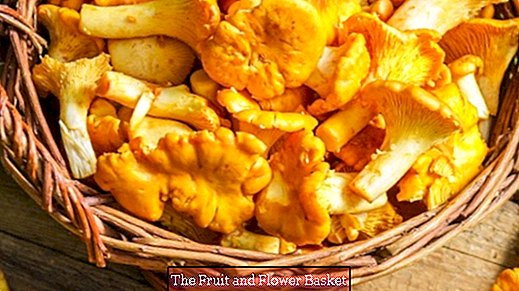 Clean and send chanterelles - fast as lightning