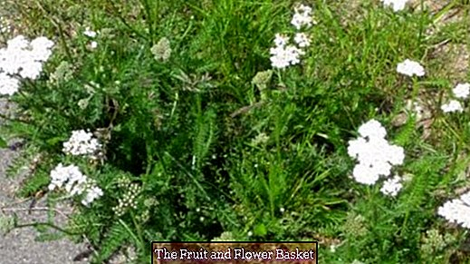 Yarrow tea against menstrual pain