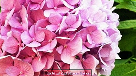 Prepare hydrangeas from the garden for dry bouquets