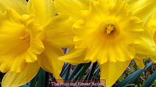 水仙:茶色の先端の閉じた芽を買わないでください