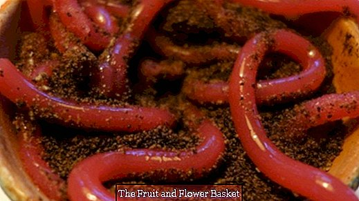 Earthworms from jelly in earth from chocolate biscuits