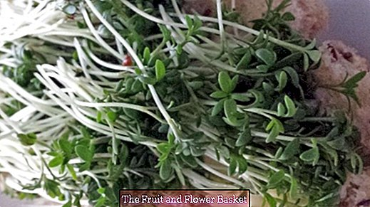 Sow cress and harvest easily