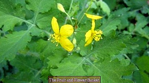 Celandine plant helps against warts - that's how it works